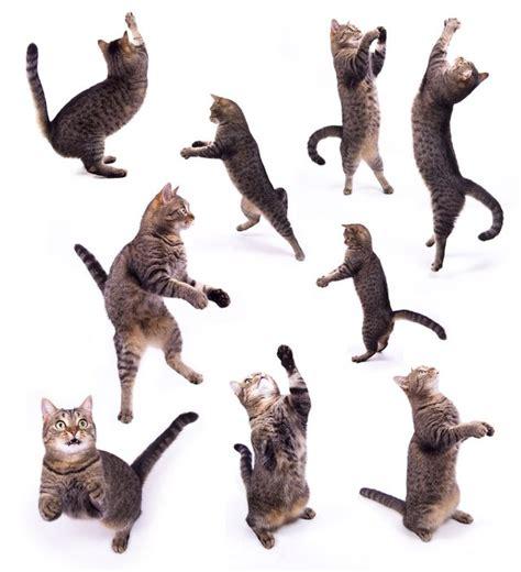 back legs weak rear leg weakness in cats cuteness