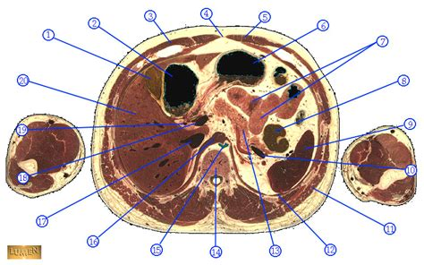 cross section of stomach abdomen cross section