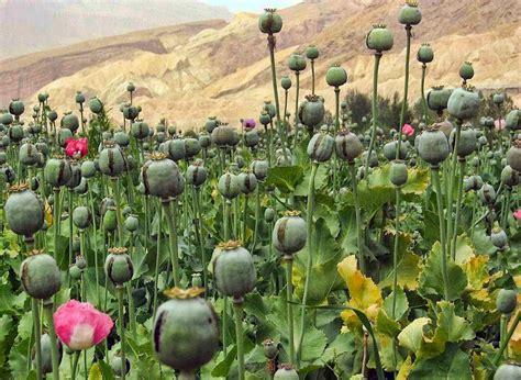 Opium by