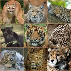 Tiger Cheetah Leopard Jaguar Panther Free Images Nature Wilderness Looking Wildlife Fauna