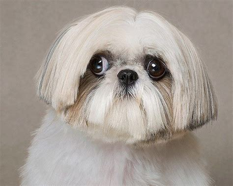 best shoo for shih tzu 17 best images about shih tzu hairstyles on puppys pig tails and the bad