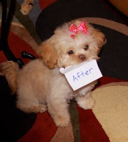 pocket puppies chicago il pocket puppies boutique chicago grooming packages