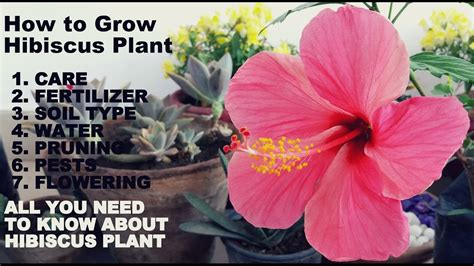Plants That Don T Need Water how to grow hibiscus plant full information with tips