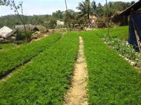Bibit Cengkeh Di Bogor jual bibit pohon sengon di bogor