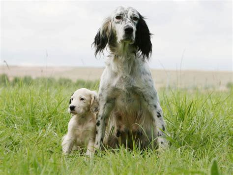 definition de setter anglais photo chien setter anglais 1591 wamiz