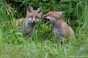 Pin rotfuchs vulpes vulpes wildlife on pinterest