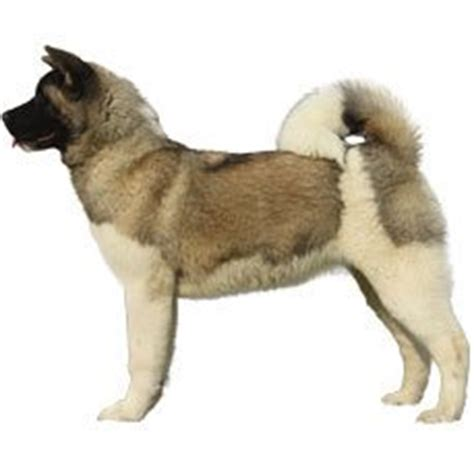 rottweiler vs german shepherd comparison compare akita vs german shepherd difference between akita and german shepherd