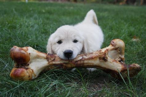 best bones for golden retriever puppies 44 best images about golden retrievers on the