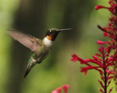florida hummingbird flickr photo sharing