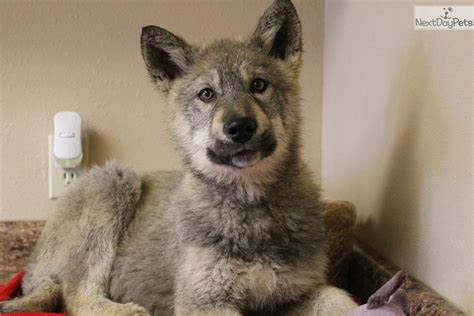 grey wolf puppies for sale grey wolf hybrid puppies