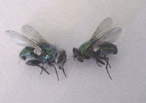 Cluster Flies In Kitchen by Cluster Flies Ny Nj Ct Jp Mchale Pest Management