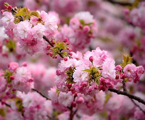japanese cherry blossom tree japanese cherry blossom tree cherry blossom pinterest