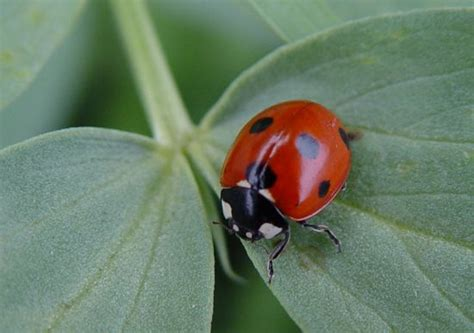 natural predator of bed bugs 33 best images about container gardening on pinterest