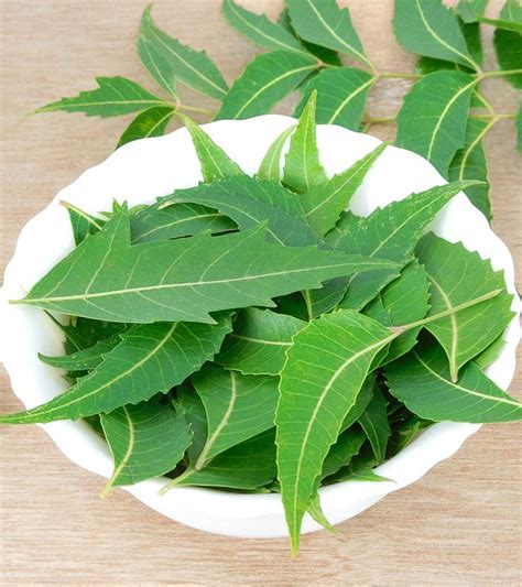 Uses Of L by Neem Leaf Www Pixshark Images Galleries With A Bite