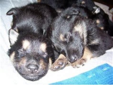 german shepherd puppies for sale in oklahoma german shepherd puppies in oklahoma