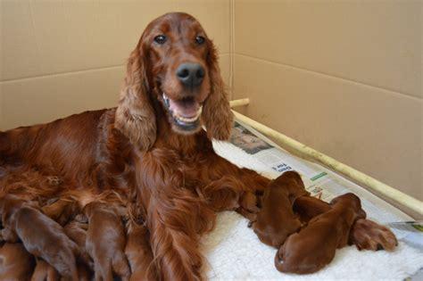 old setter dog irish setter puppies carnbargus irish setters
