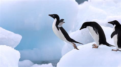 8 Facts On Penguins by Adelie Penguin Interesting Facts Photographs