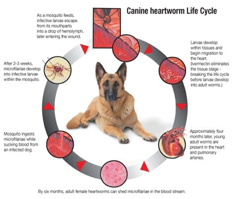 heartworm in dogs heartworm disease by mccarron dvm dabvp veterinary hospital