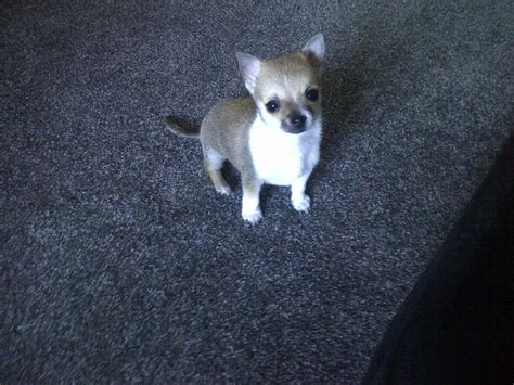 tiny chihuahua puppies tiny teacup chihuahua puppy durham county durham pets4homes
