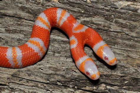 serpente a 2 teste serpente a due teste