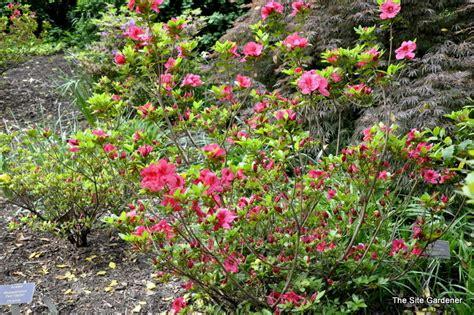 slipper azalea rhododendron slipper the site gardener