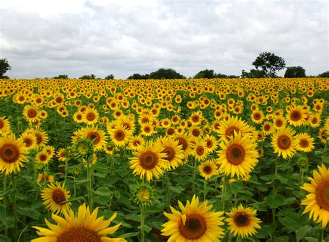 sunflower field file sunflower field near raichur india jpg wikimedia