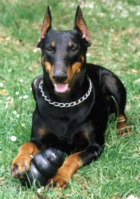 doberman pinscher doberman pinscher pet dogs animals wiki pictures stories