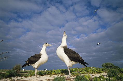 laysan albatross courtship dance hawaii photograph by tui