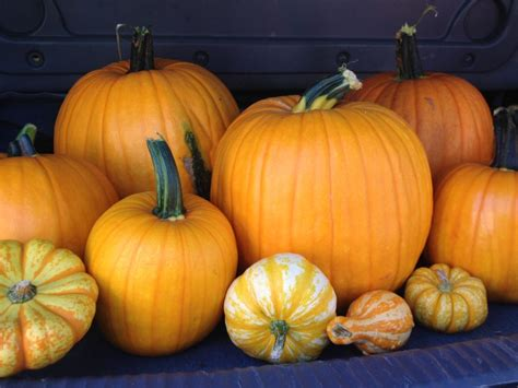 picture of a pumpkin family at the pumpkin patch siems