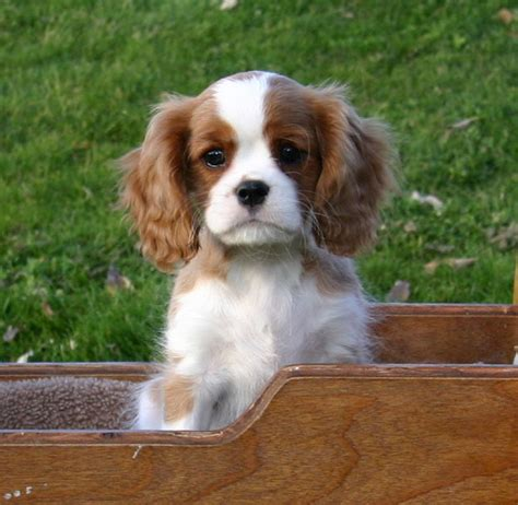 king charles havanese mix cavalier king charles havanese mix breeds picture