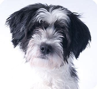 havanese rescue chicago buddy adopted chicago il havanese
