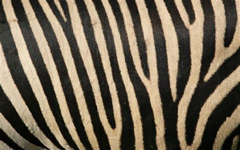 skin pattern of zebra lines in nature cat and mouse