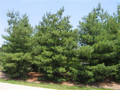 eastern white pine pinus strobus great plains nursery