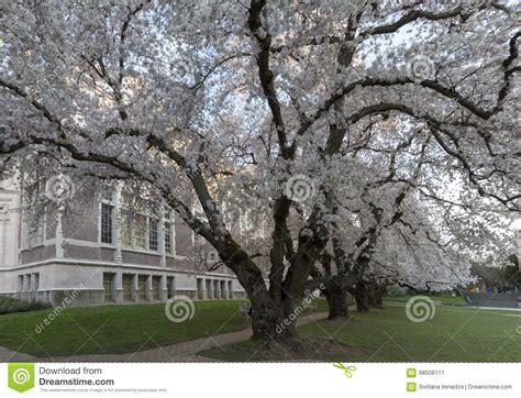 u of s cherry trees cherry trees at of washington stock photo image 68508111