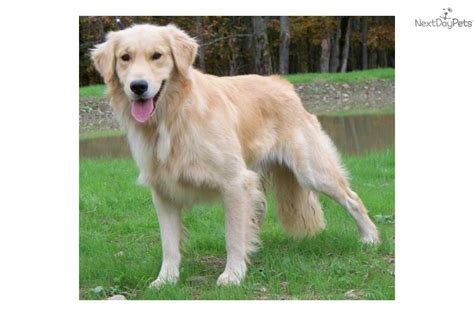 golden retriever island ny golden retriever puppies for sale westchester new york westchester breeds picture