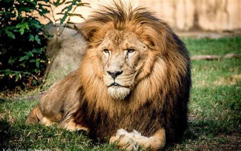 imagenes de leones gratis descargar la imagen en tel 233 fono animales leones gratis