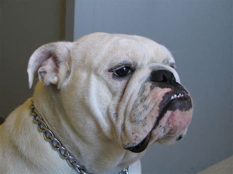 bulldog puppy pictures engelse bulldog hondenrassen en eigenschappen