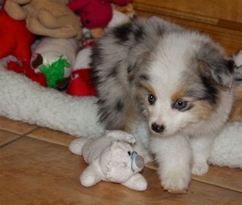 teacup puppy breeds best 25 teacup breeds ideas on teacup animals baby dogs and