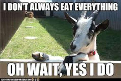 Funny Goat Memes - funny goat sayings and quotes quotesgram