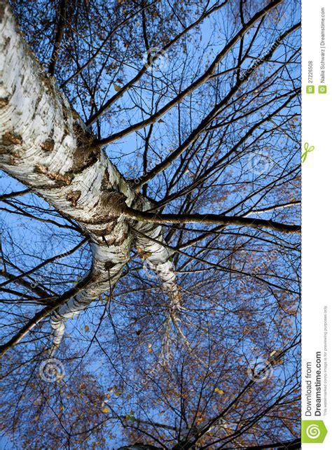autumn birch tree royalty free stock photos image 27226508