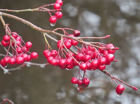 wild berries chesapeake bay news