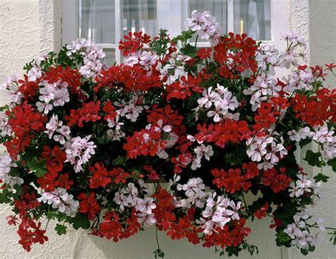 pflanzzeit geranien balkon h 228 ngegeranien sichern eine ausgelassene sch 246 nheit im garten