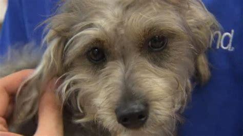 petland puppies puppy stolen 11 months ago found roaming streets nbc 5 dallas fort worth