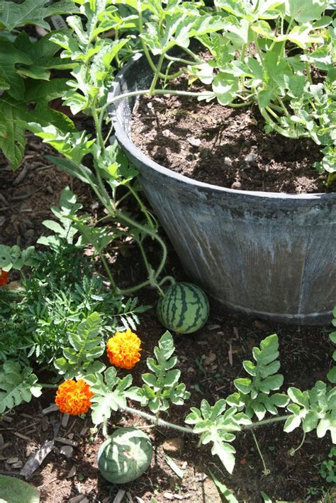 container gardening watermelon black goldlearn to succeed with container vegetable gardening