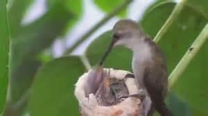 And Their Feeders Hummingbird Feeding Their Babies