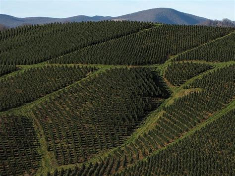 great harvest for nc christmas tree farmers wunc
