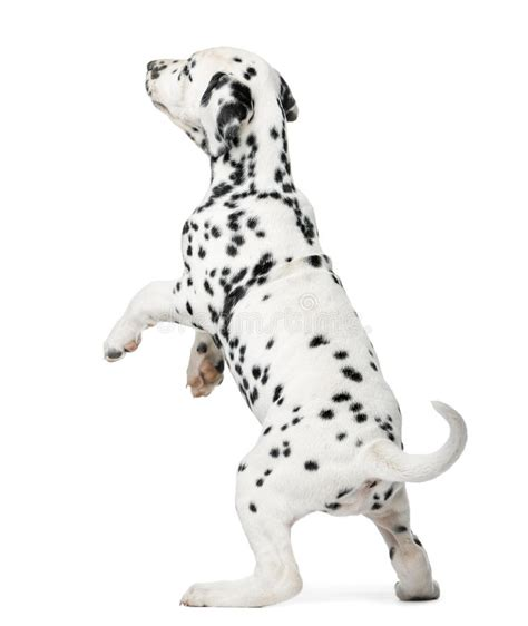 dalmatian standing stock    royalty