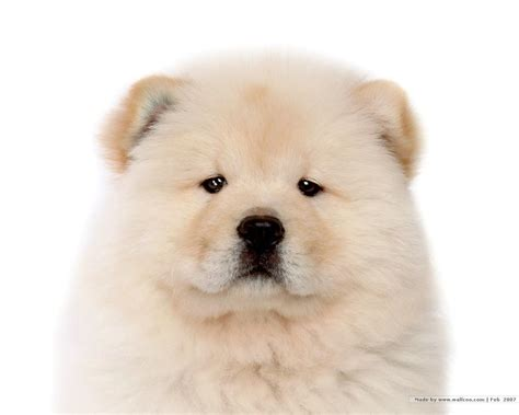 chow puppy chow chow puppy wallpaper puppies wallpaper 13936784 fanpop
