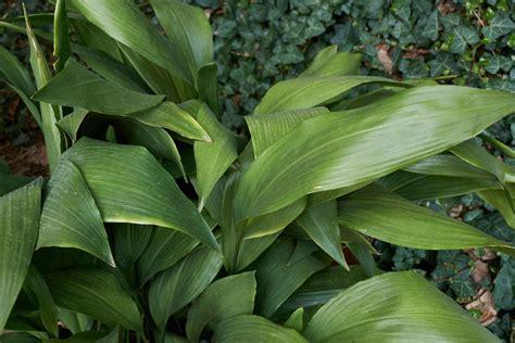 piante da interno sempreverdi piante da interno resistenti cool piante da interno