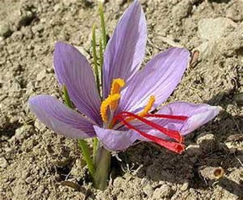 libro la flor del azafrn azafr 225 n flor de azafr 225 n crocus sativus